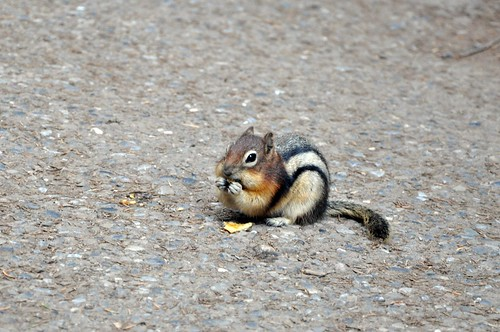 Gold mantled ground squirrel