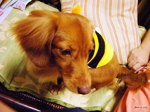 栗子穿著蜜蜂裝!