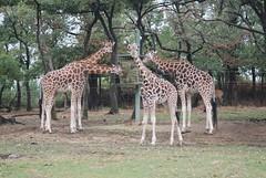 Uganda Giraffen in der Safari de Peaugres