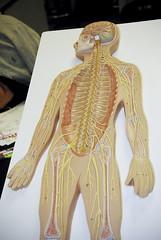 BIO 120 Lab Spinal Cord 040