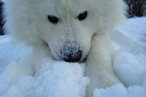 Samojed i snön