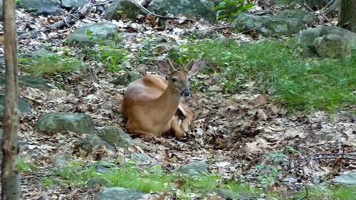 A very calm deer