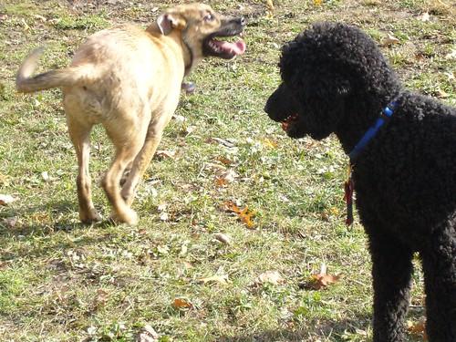 Yankee aan het spelen met andere honden in Burgoyne Woods (1)