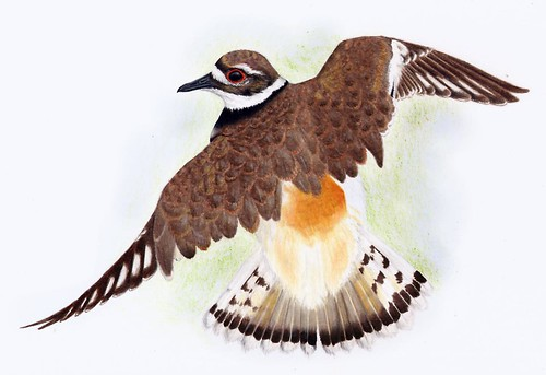 Killdeer - coloured pencil