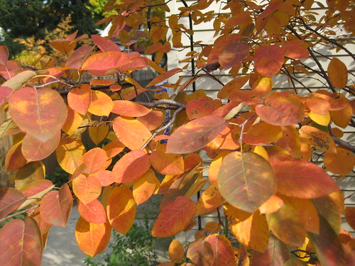 Serviceberry 'Autumn Brilliance' - afternoon