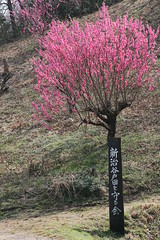 新治市民の森のモモ(Peach at Niiharu civic forest, Japan)