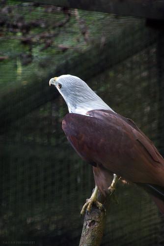 Brahminy Kite (Haliastur indus)