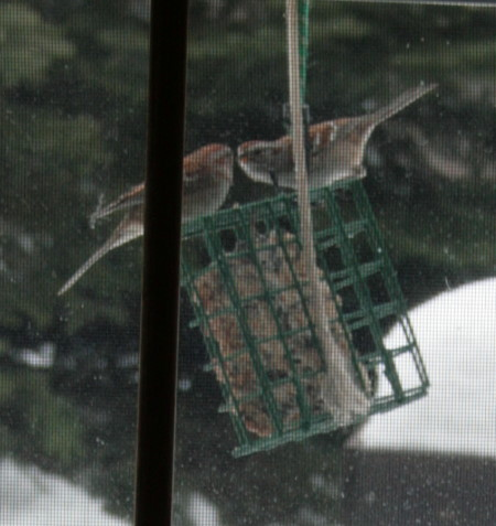 American Tree Sparrows at suet