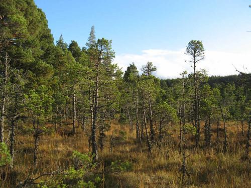 Scots pine Bog Woodland at Loch Morlich