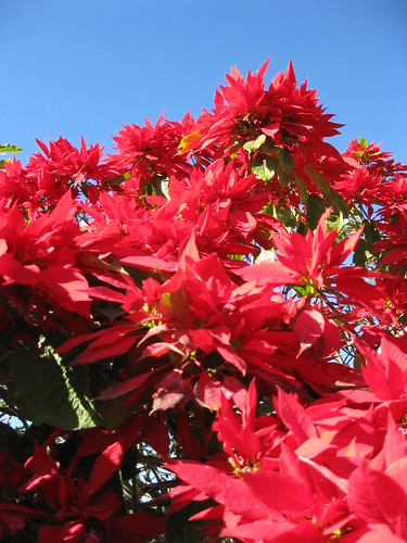 Poinsettia bush