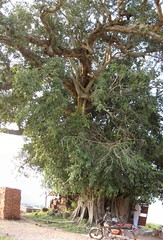Sacred Kallala Tree (by Raju's Temple Visits)