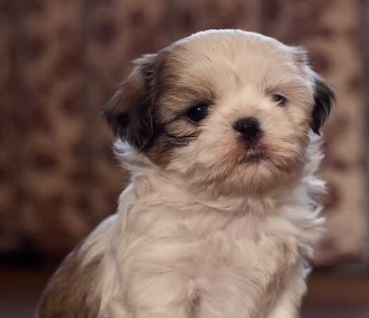 5 Week Old Shih Tzu Puppy