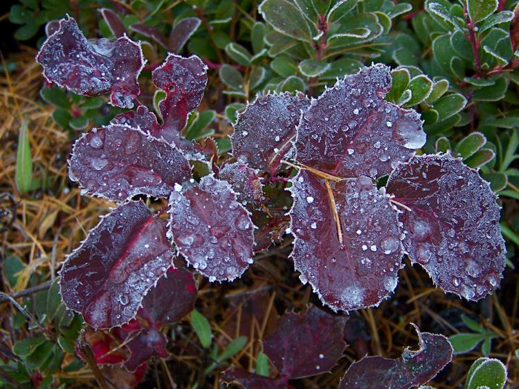 Oregon grape leaves in winter