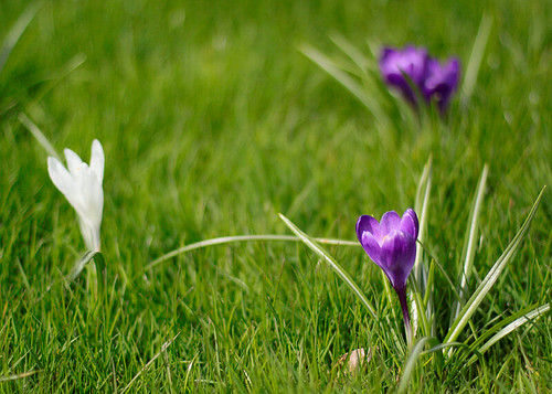 lawn crocuses