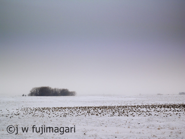 Snow Buntings At Rest