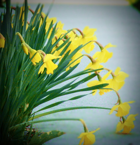 daffodils bowing to the march lion