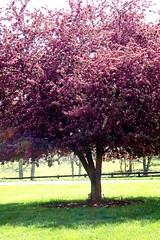 hot pink tree