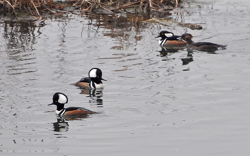 Hooded Merganser Party