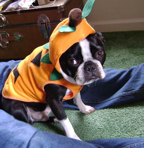 iggy pup in pumpkin costume