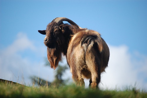Coombs goat