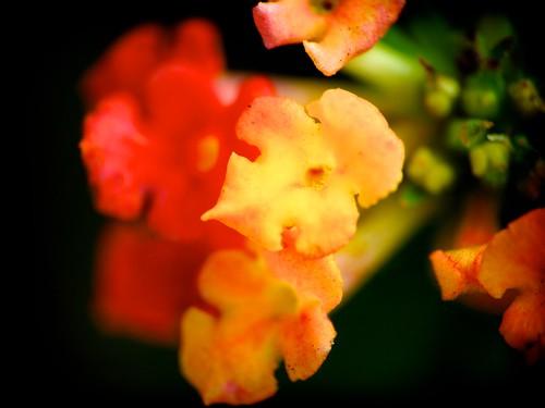 Raynox'd Flowers - TCHLomo