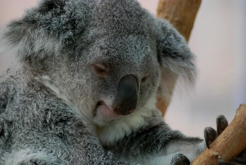 Koala im Zoo Parc de Beauval