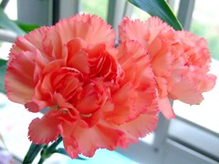 CARYOPHYLLACEAE 石竹科 - Garden Carnation (Dianth...