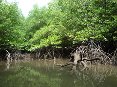 Mangrovenwaelder der Phang Nga Bay