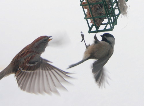 American Tree Sparrow and Black-capped Chickadee at suet