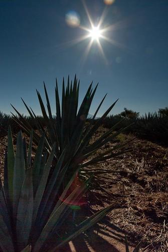 Agave Azul, Foto Tour Tequila Febrero 2010, Lente Tapatio