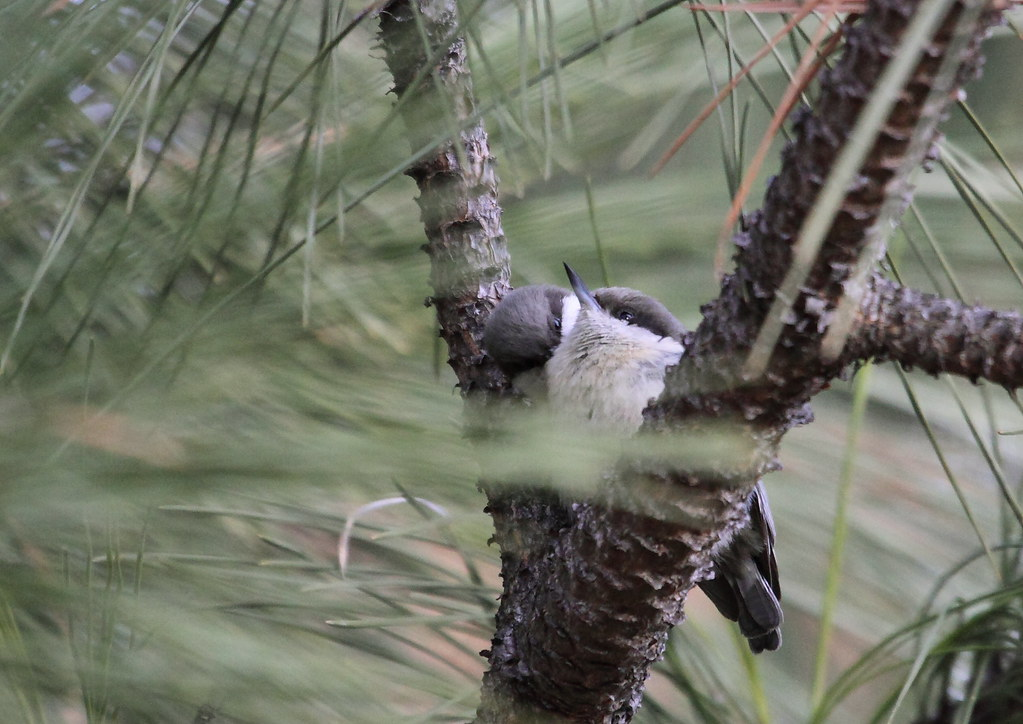 pygmy nuthatches in tree