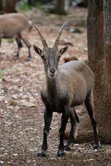 Gämse im Parc animalier de Gramat