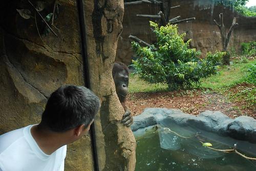 Peek-A-Boo at the Jakarta Zoo: Josh and Orangutan