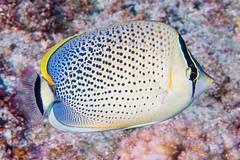 Spotted Butterflyfish - Chaetodon guttatissimus