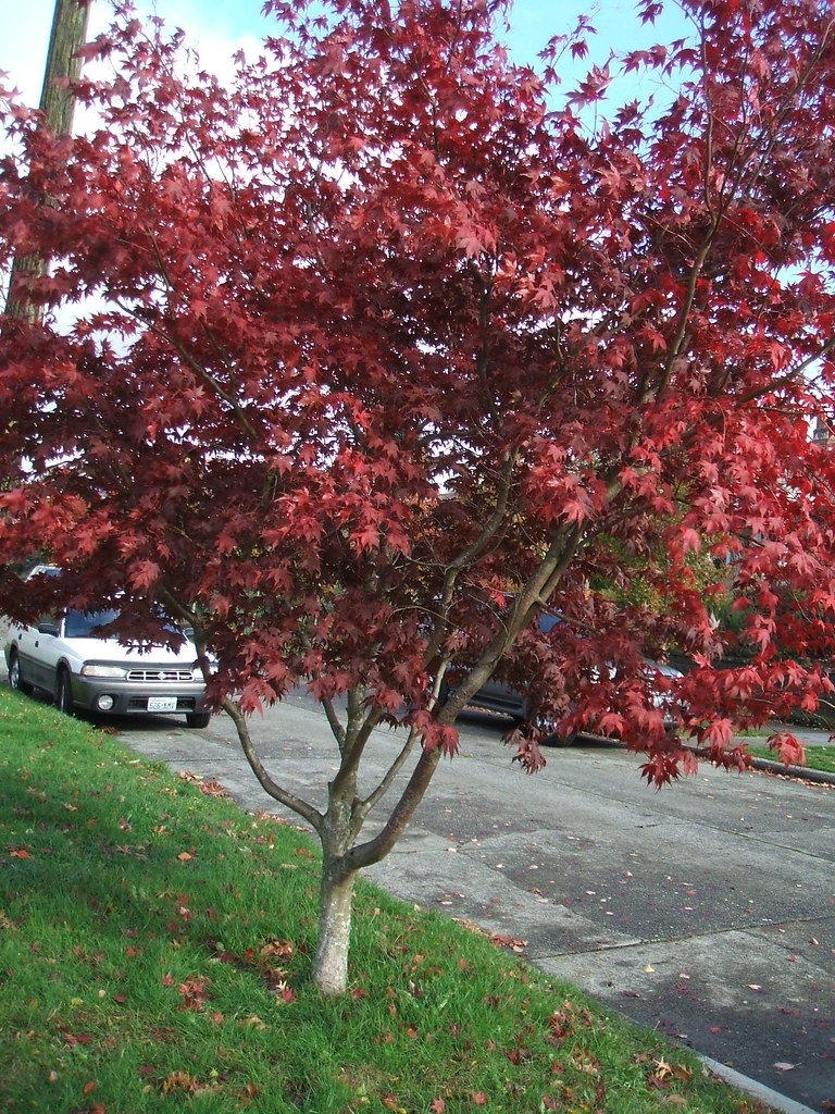Bloodgood maple tree