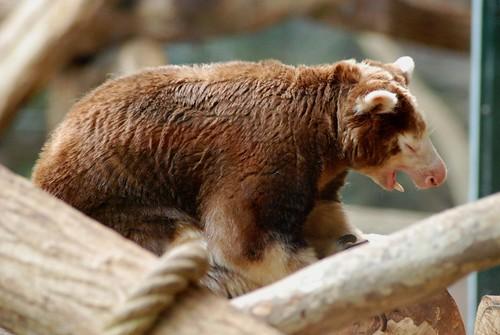 Matschie-Baumkänguru im Zoo Parc de Beauval