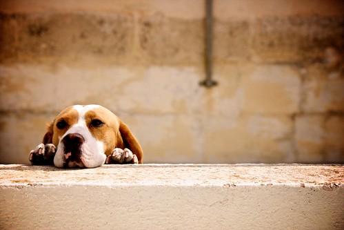 Dog on Roof (Malta)