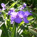 Ridgewood Queens Backyard Garden 2011