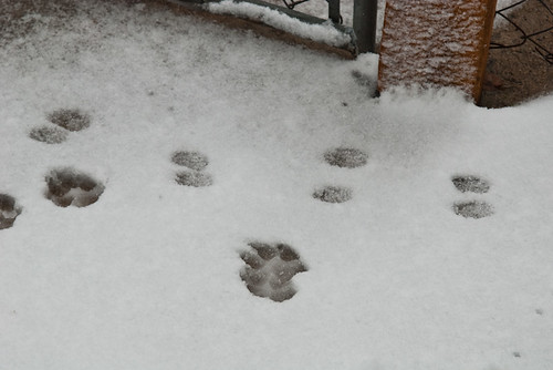 Doggie Footprints in the Snow
