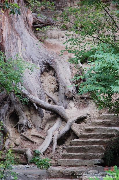 西藏林芝世界柏樹王園林05.jpg