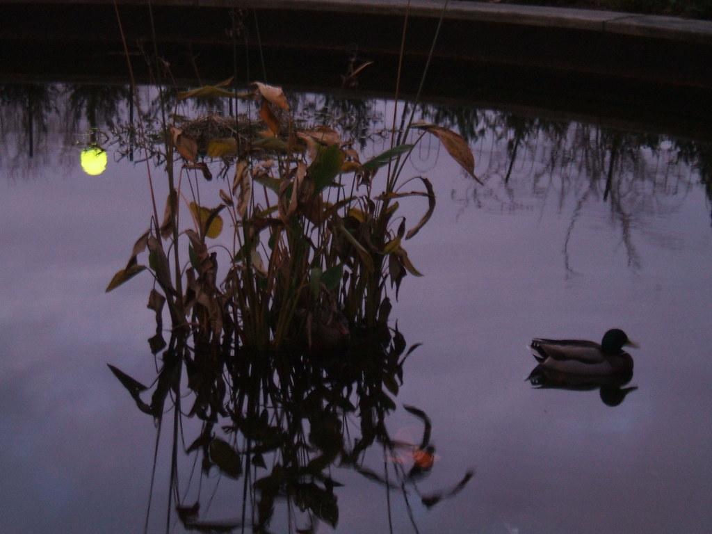 Duck/dusk