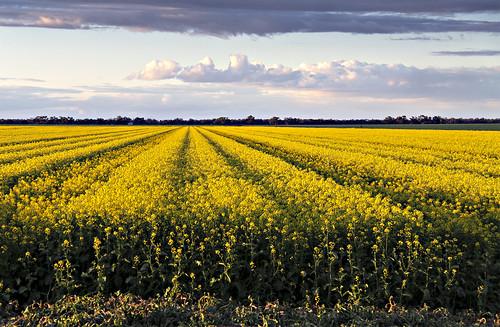 GM Seed Crop