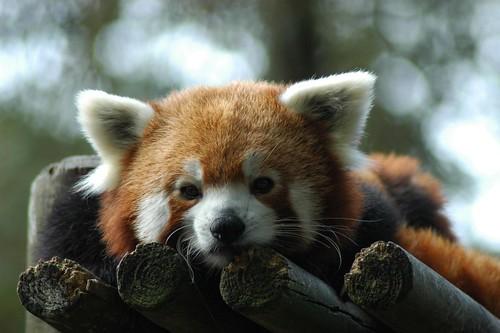 Roter Panda im Zoo de La Palmyre