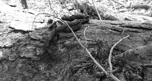 coyote scat on white oak 2