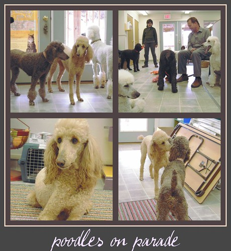 poodle collage