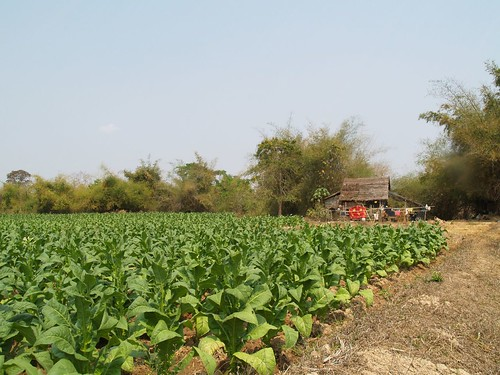 Tobacco irrigated by the village dam