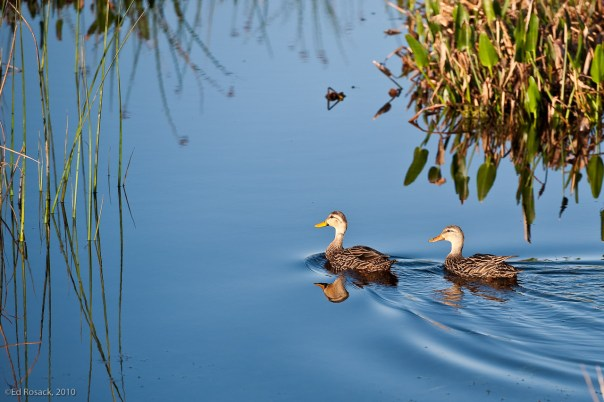 Pair of Mottled Ducks (?)