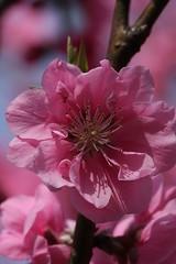 新治市民の森のモモ(Peach at Niiharu civic forest, Japan)