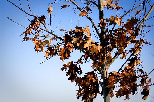 {16/365} maple tree in winter