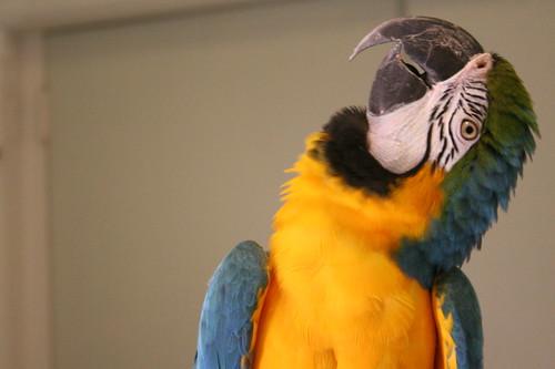 Phoenix Landing - Adoptable Blue & Gold Macaw